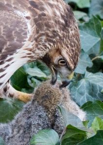 Red-tail with squirrel in ivy. Photo by Patrick Mansell.